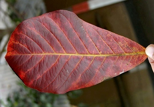 "Picture of 50pcs Grade-A Large Size above 8"" Catappa Leaves"