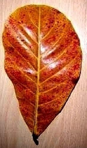"Picture of 100pcs Grade-B Medium Size 5""~7"" Catappa Leaves"