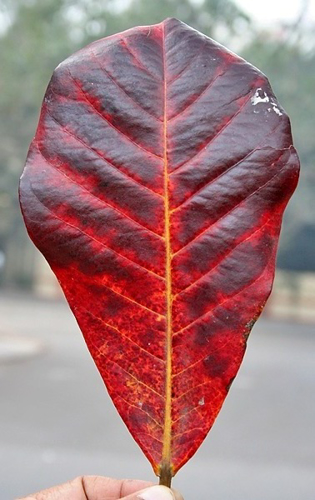 "Picture of 100pcs Grade-B Large Size above 8"" Catappa Leaves"